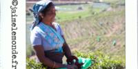 Incontournable au Sri Lanka : une ballade dans les plantations de thé!