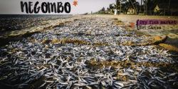 Negombo - Voyage au Sri Lanka (une)