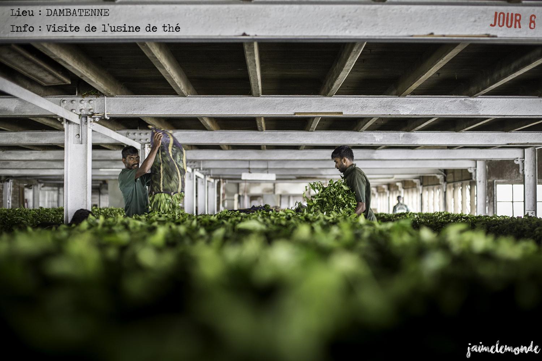 Voyage Sri Lanka - Itinéraire Jour 8 - 5 Dambatenne - Visite de l'usine de thé - ©jaimelemonde